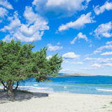 Pine tree by the sea in Stintino Stock Photos