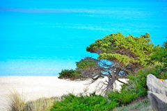 Pine tree by the sea in Stintino Stock Images