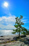 Pine tree on seashore Stock Photo