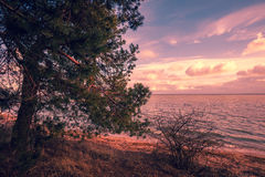 Pine tree on the seashore Stock Images
