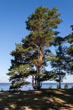 Pine tree on the seashore Stock Photo