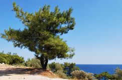 Pine tree on seaside Stock Photos