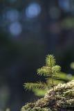 Pine tree seedling Royalty Free Stock Photography