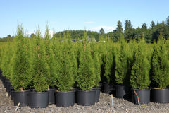 Pine tree seedlings in a nursery, Oregon. Stock Images
