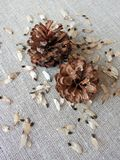 Pine tree seeds and stones on linen fabric, Lithuania Royalty Free Stock Photo
