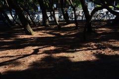 Pine tree shade. In the park stock photos