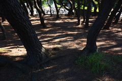 Pine tree shade. In the park royalty free stock photography