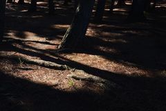 Pine tree shade. In the park stock photography