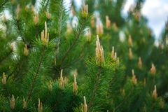 Pine tree with shoots photographed at springtime Stock Images