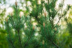 Pine tree with shoots photographed at springtime Stock Photography