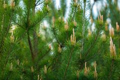 Pine tree with shoots photographed at springtime Stock Photo