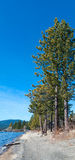 Pine tree on the shore Stock Image