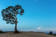 Pine tree on the shore of Lake Baikal Stock Photo