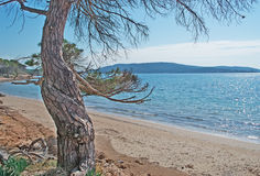 Pine tree by the shore Royalty Free Stock Photos