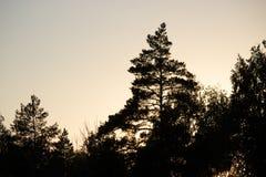 Pine tree silhouette Stock Image