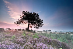 Pine tree silhouette and heather at sunrise Royalty Free Stock Photo