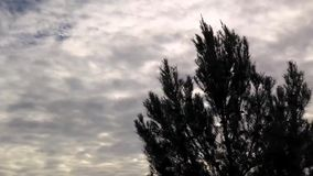 Pine tree silhouette over clouds background. Timelapse silhouette of pine tree blowing in the wind with cloudscape background stock video footage