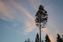Pine tree silhouette Royalty Free Stock Photo