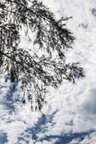 Pine tree. The pine tree silhouette and sky Royalty Free Stock Images