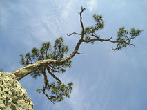 Pine tree singled out on the blue sky Stock Photography