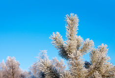 Pine tree and sky Royalty Free Stock Image