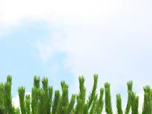 Pine tree on the sky Royalty Free Stock Image