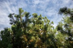 Pine tree on the sky background. Pine tree filmed one summer day under the sunny cloudy sky stock photography