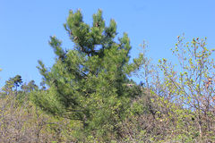 Pine tree on sky background in mountain Stock Image