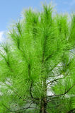Pine tree and sky Stock Photo