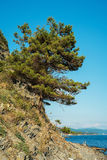 Pine tree on the slope of the cliff near the Black Sea coast Royalty Free Stock Images
