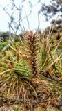 Pine tree with small cones. stock photos