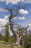 Pine tree snag Royalty Free Stock Photos