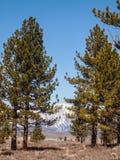 Pine tree , snow capped mountain landscape Stock Photos