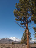 Pine tree , snow capped mountain landscape. In California , USA Royalty Free Stock Images
