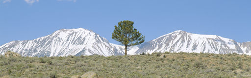 Pine tree and snow-covered Sierra Nevada Mountains Stock Photos
