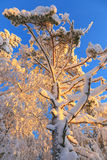 Pine tree with snow at dawn Stock Image