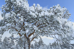 Pine tree after snow storm Stock Photography