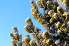 Pine tree with snow a sunny winter day Stock Images