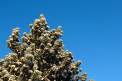 Pine tree with snow a sunny winter day Royalty Free Stock Photo