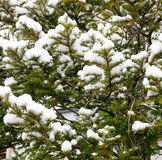 Pine tree with snow. In the winter Royalty Free Stock Photography