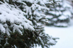 Pine tree with snow. At winter Stock Photography