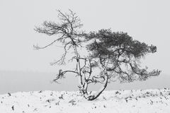 Pine tree  during the snow in the winter in Holland. Stock Image