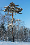Pine tree in the snow, winter. Pine tree in the snow, Siberia, Russia Royalty Free Stock Photos