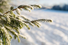 Pine tree with snow Stock Photo