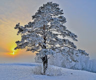 Pine tree on a snowy hill Royalty Free Stock Photo
