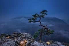 Pine tree on Sokolica peak on misty sunrise in Pieniny Royalty Free Stock Image