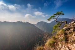 Pine tree on Sokolica peak in Pieniny mountains, Poland Royalty Free Stock Photo
