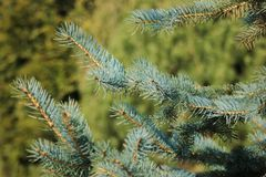 Pine Tree at some garden royalty free stock photography
