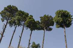 Pine tree. Some tall khasi pine trees somewhere in Shillong royalty free stock photography