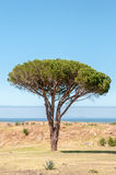 Pine tree in Somerset West. Near Cape Town Stock Photography